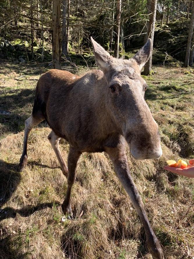 Elchpark Elch Schweden